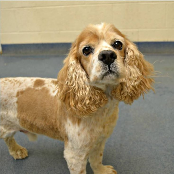 12/20/17 Lindon, UT ★GAS CHAMBER SHELTER★ OUT OF TIME! Available since 12/5: Named * Quarter * Kennel # A6 Male Cocker Spaniel: SENIOR ALERT! 10+ yrs old: He is very sweet and cuddly. Adoption Fee $132.00: (not neutered/voucher included) Please never call the shelter about the Gas Chamber issue it could affect rescue efforts and have a negative impact for the animals: Out of State Rescues are welcome