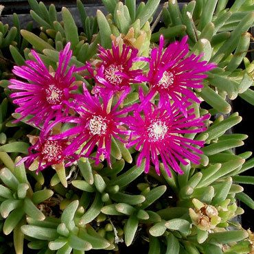 Not as hardy as nubiganum but a lovely plant. The leaves are succulent in nature and have trailing stems with beautiful deep magenta blooms. Free Shipping $75+
