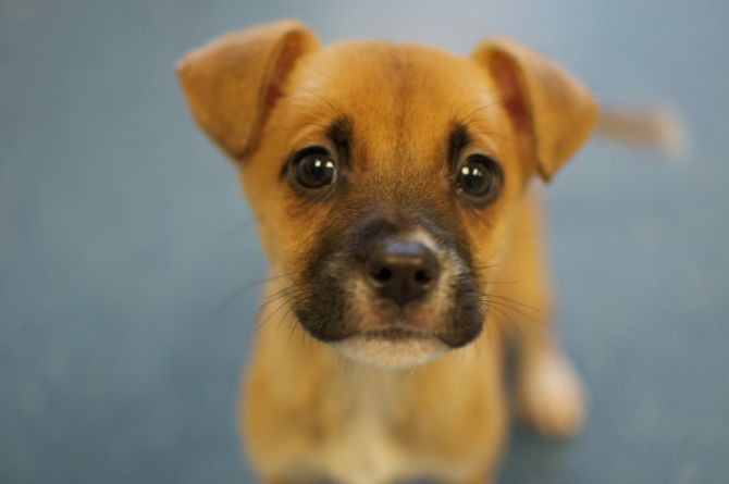 Cute Beagle Boxer Mix Puppies