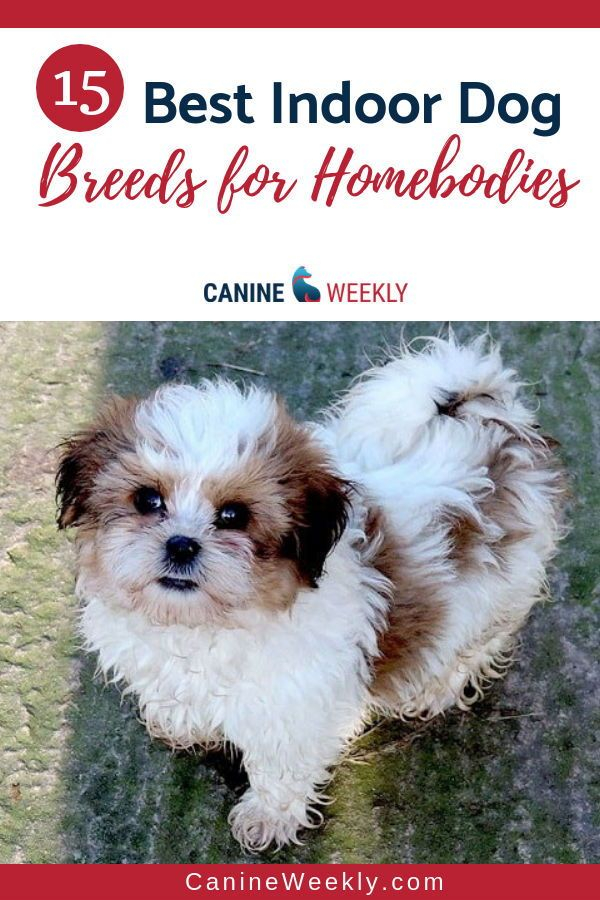 15 Best Indoor Dogs For Homebodies Canine Weekly Pets Dogs Breeds Family Dogs Breeds Dog Breeds Little