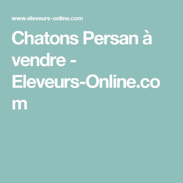 Chatons Persan à vendre - Eleveurs-Online.com