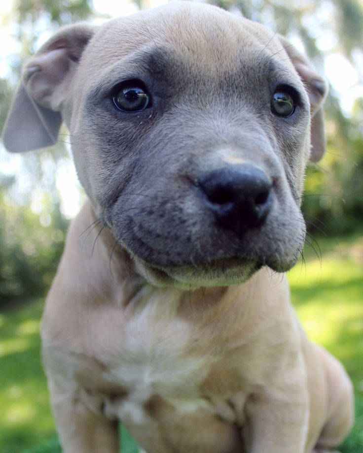 Here is a  photo of an amazing male blue fawn pitbull puppy that we have for sale. To see our available blue pitbull puppies for sale visit http://www.bluefirepits.com . #bluepitbullpuppiesforsale #bluepitbull #bluepitbullbreeders #bluenose #bluenosepit #bluefirepits #likesforlikes #like4like #likeforlike #blueeyes #puppies #pup #cute #ny #nyc #picoftheday #puppyoftheday #petstagram #pets_perfection
