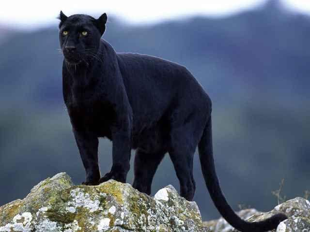 pantera negra salvaje   640 480 animal de poder
