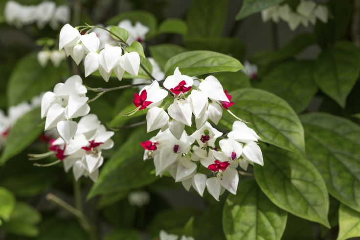 Clerodendrum Bleeding Heart Care: How To Grow Bleeding Heart Vines - Clerodendrum bleeding heart is a sub-tropical vine that wraps its tendrils around a trellis or other support. Gardeners appreciate the plant for its shiny green foliage and dazzling crimson and white blooms. This article has more information.