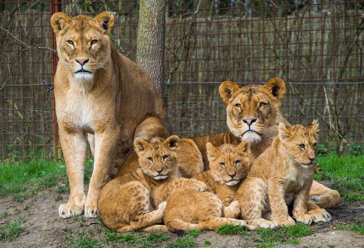 Lions. Kingdom of the Netherlands.