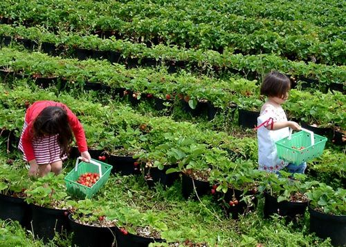 How to Find a Pick-Your-Own Strawberries Farm