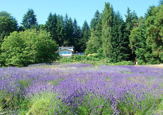 grow lavender like the french 7 easy tips for anyone gardens growing lavender and the plant. Black Bedroom Furniture Sets. Home Design Ideas