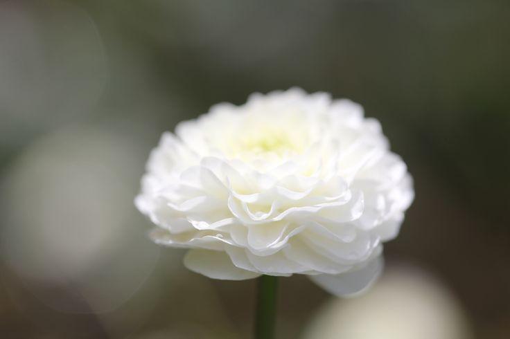 Duppsoleie i blomst for første gang. Utrolig vakker plante, den skal jeg ha flere av!