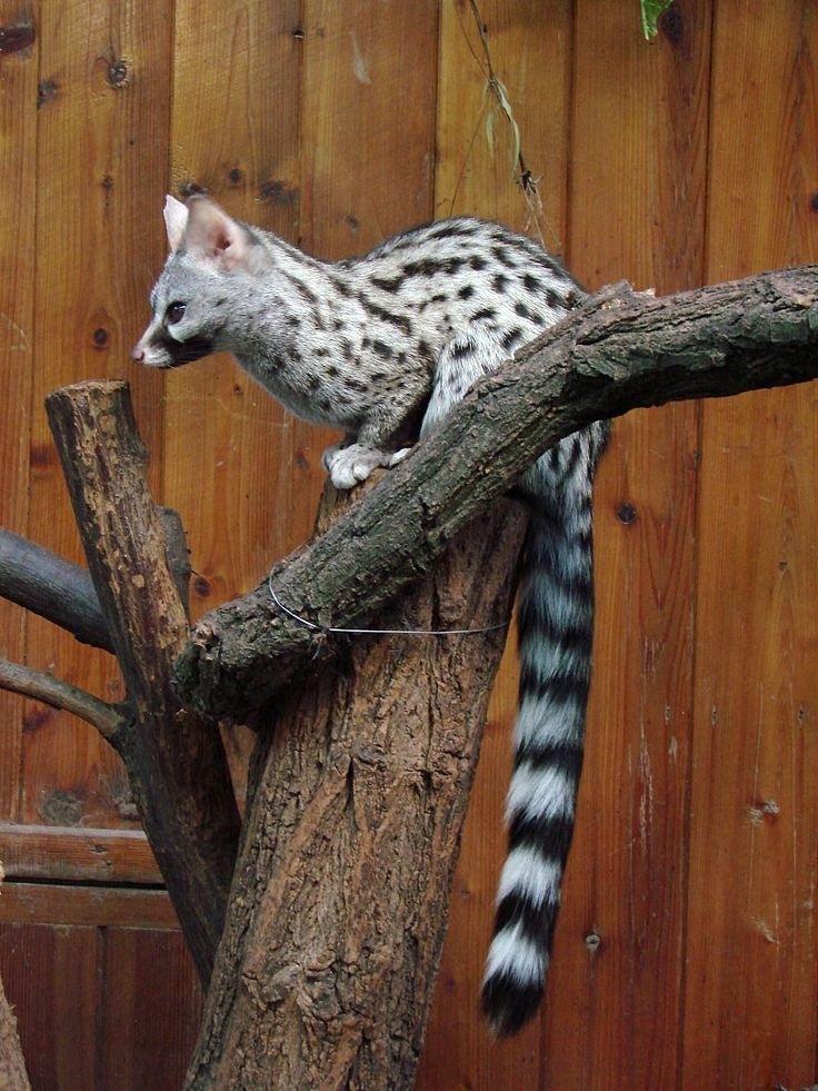 The Spotted Genet can be found in the Middle East, in Europe and Spain. It is a very handsome feline looking animal that is quite popular as an exotic pet in the USA.