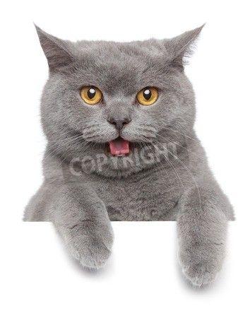 白いバナー; 悲しいブリティッシュショートヘアの猫の肖像画