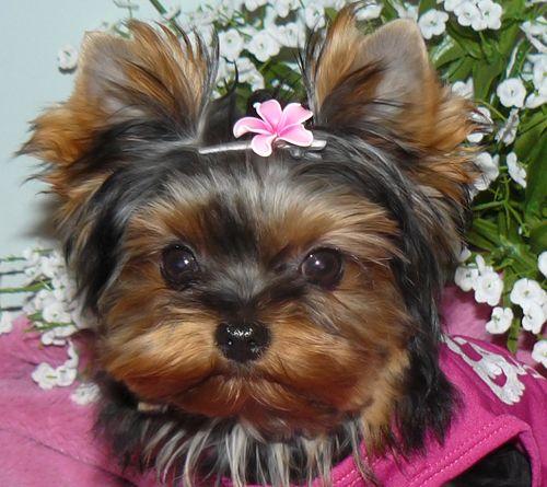 Buy Morkie Puppies In British Columbia Canada