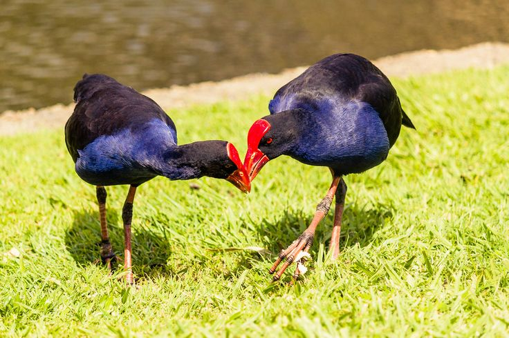 Purple Swamphens sharing a meal - Brisbane, Australia - Zac Harney Photography