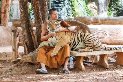 Naukowcy zaobserwowali, że światowa liczebność tygrysów zwiększyła się. Naukowcy zajmujący się ich ochroną zachowują jednak powściągliwość i unikają sformułowań mówiących o wzroście liczebności, nie jest on bowiem tożsamy z faktycznym przyrostem, lecz może wynikać z większej dokładności i większego zasięgu monitoringu.