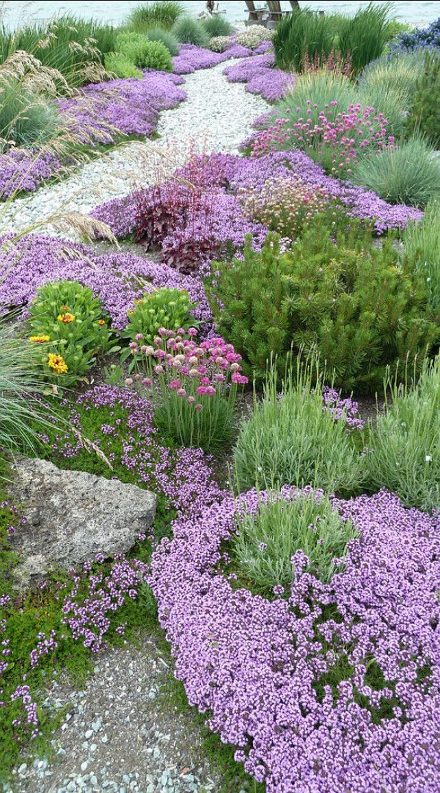 The lavender shown is Hidcote and Munstead varieties. They have slightly different bloom times and colors, and both are smallish in nature rarely growing over 3'. Also deer and drought proof with silver foliage. Also shown is red creeping thyme.
