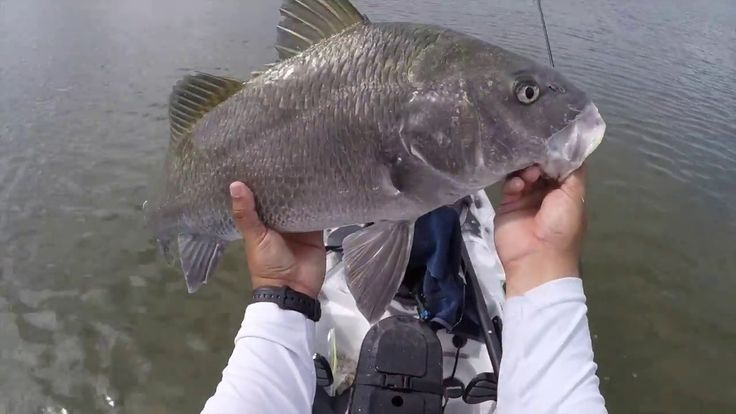 How To Catch Inshore Black Drum Using Sand Fleas - YouTube