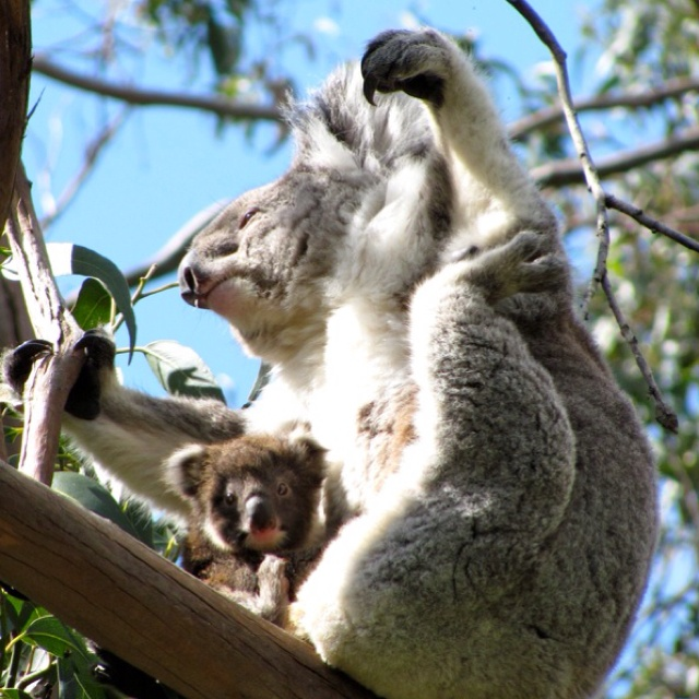 One of my favorite pictures in the world (took by my father) of mama and baby koala in the wild. Great Ocean Road, Australia.