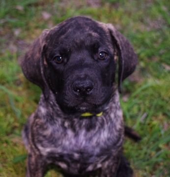 Litter of 5 Mastiff puppies for sale in FORNEY, TX. ADN-26430 on PuppyFinder.com Gender: Female. Age: 8 Weeks Old