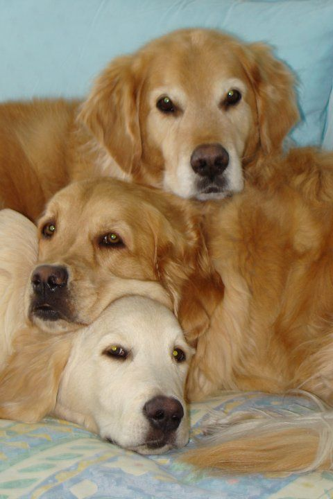 A Golden SandwichFamilies Night, Beautiful Golden, Dogs Pile, Golden Girls, Families Photos, Golden Sandwiches, Sweets Golden, Families Portraits, Golden Retriever