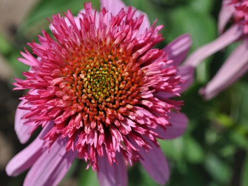 2014: Year of the Echinacea 'Double Scoop Bubble Gum'