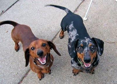 dachshundsSmile Baby, Cute Daschund Puppies, Dachshund Galore, Dachshund Chees, Weiner Doggie, Puppies I Would Like To Pets, Dachshund Worship, Weiner Dogs, Happy Dogs