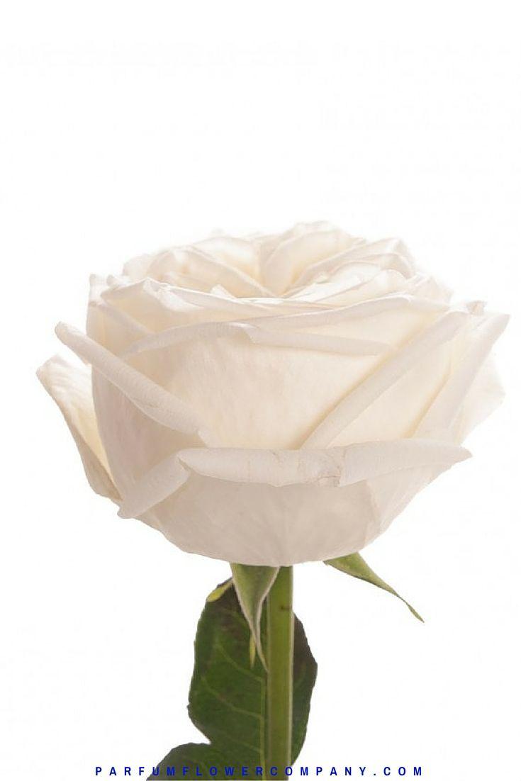 Жанна Моро Роуз, также известный как Белый Perfumella розы.  Meilland Jardin и др Парфюмированная коллекция 007