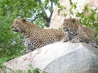 Leopard Sighting at Mala Mala Game Reserve