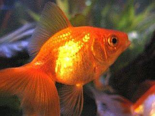 Cuidar animales y mascotas: Cuidados del Goldfish (Pez dorado)
