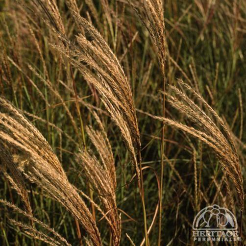 162 best images about ga landscape grasses ferns on for Japanese ornamental grass varieties