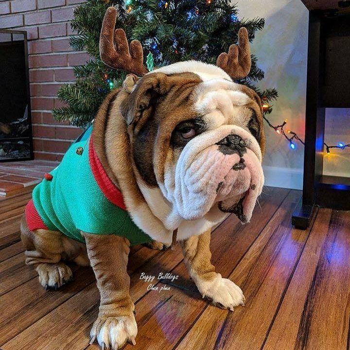 OMG wrinkle faced English Bulldog