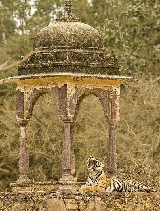 Ranthambore national park , India.