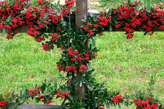 Espalier - tree or shrub that is trained to grow in a flat plane against a wall, often in a symmetrical pattern.  This is a lovely pyracantha 'firethorn' trained along a fence.