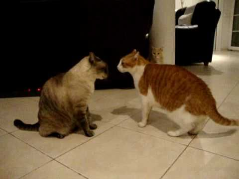 Cats arguing! the best cat video you'll ever see!! - YouTube