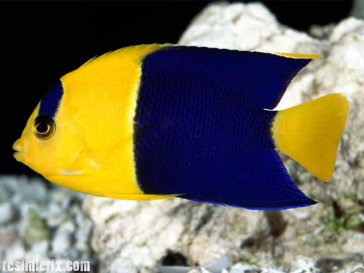 Sarı lacivert renkli balık