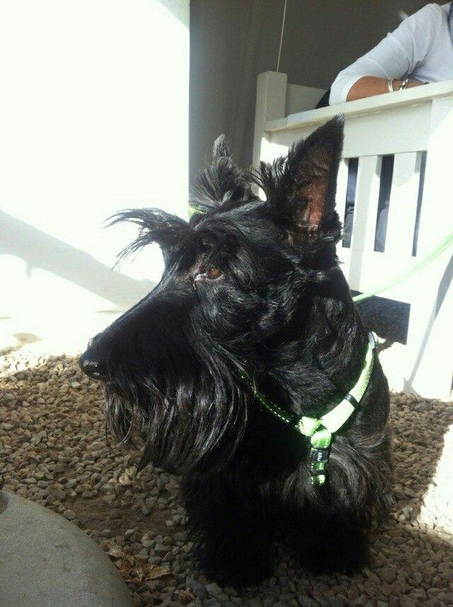 Roxie, my Scottie