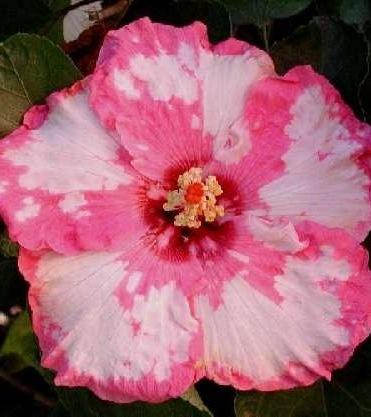 'Strawberry Snow' Hibiscus