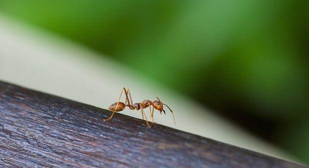 formiche repellenti naturali