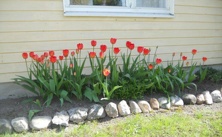 2017 my Tulips