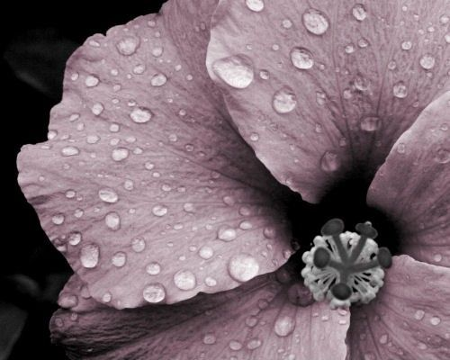 Flower photograph pink and gray mauve rain by NaturalCharmPhotos, $25.00