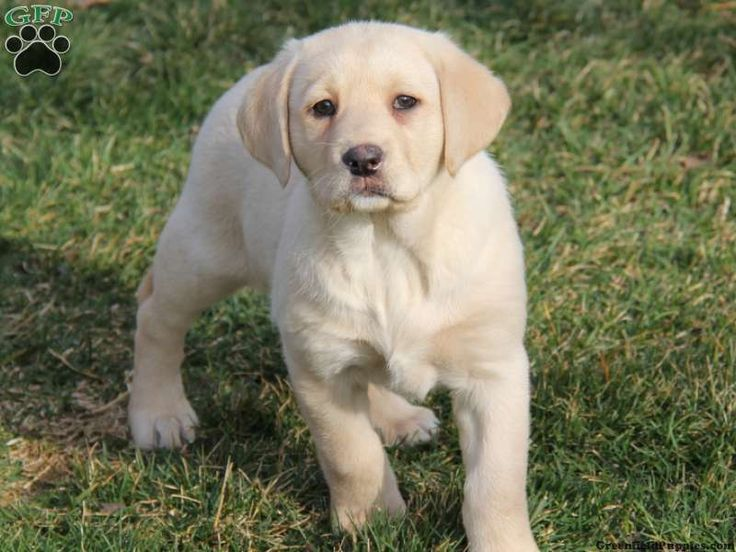 Yellow Labs For Sale | Labrador Retriever - Yellow Puppies For Sale In PA!