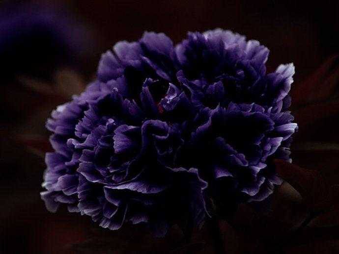 Купить 10 шт. темно фиолетового семена пиона. Самая красивая и ароматный семена цветник. Комнатные декоративные цветы растенияи другие товары категории Карликовые деревьяв магазине Lovely Flower GardeningнаAliExpress. цветущие растения однолетние и завод укроп