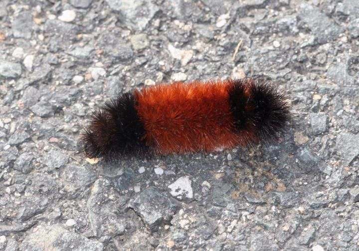 Using Woolly Worms for a Winter Forecast | When I was growing up, we called them woolly bears :-)