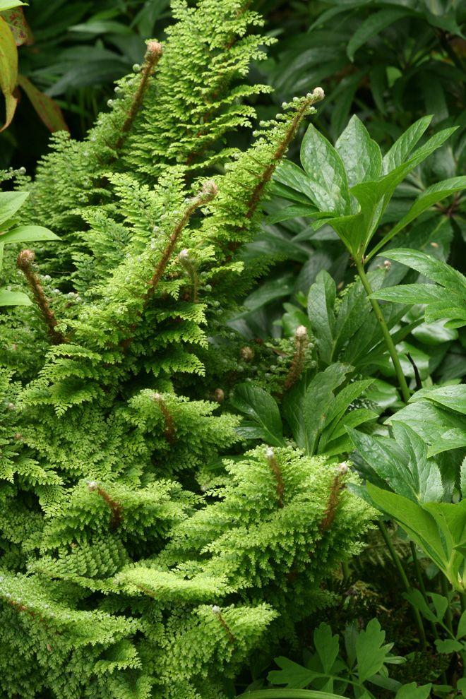 Soft shield fern (Polystichum setiferum Plumosomultilobum Group) Photo: Richie Steffen