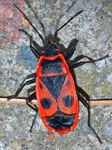 Pyrrhocoris apterus (aka).jpg
