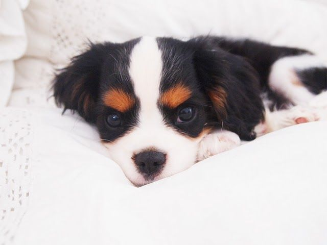 Boston the Cavalier King Charles Spaniel puppy.