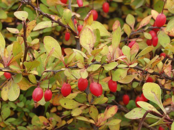 Barberis Thunberg (Berberis thunbergii) ma długie owoce na gałęziach