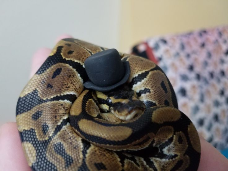 Best 25+ Snakes in hats ideas on Pinterest | Cute snake ...