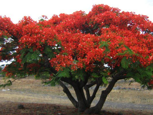 Flamboyant Tree (Flame Tree)--there are two flamboyant trees in A Girl Called Problem. Can you remember where they appear in the story?