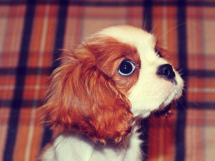 Lui <3 14 week old -cavalier king carles spaniel-