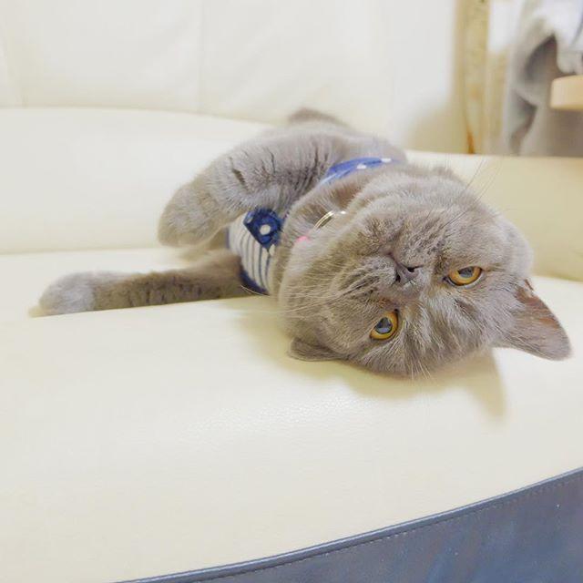 * * 大好きなパパが飲み会で午前様 * * つまらんっ!  の図  笑 * * * * #ブリティッシュショートヘア #BritishShorthair #cat #愛猫 #親バカ #ギズモの日常 #猫のいる暮らし  #猫のいる生活  #待ちぼうけ #パパさん #早く #遊んでよ〜