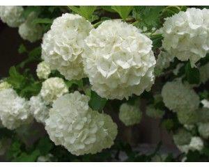 Viburnum, Snowball Bush - Privacy & Hedges - Plants - TheTreeFarm.com